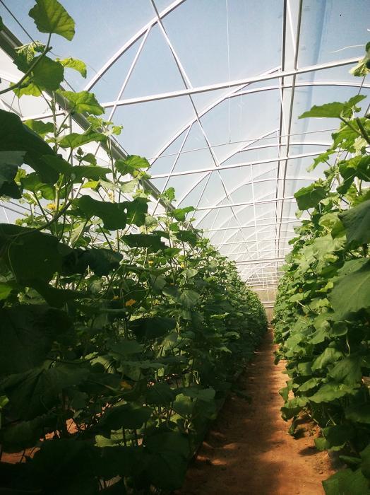 Nhà kính trồng dưa lưới